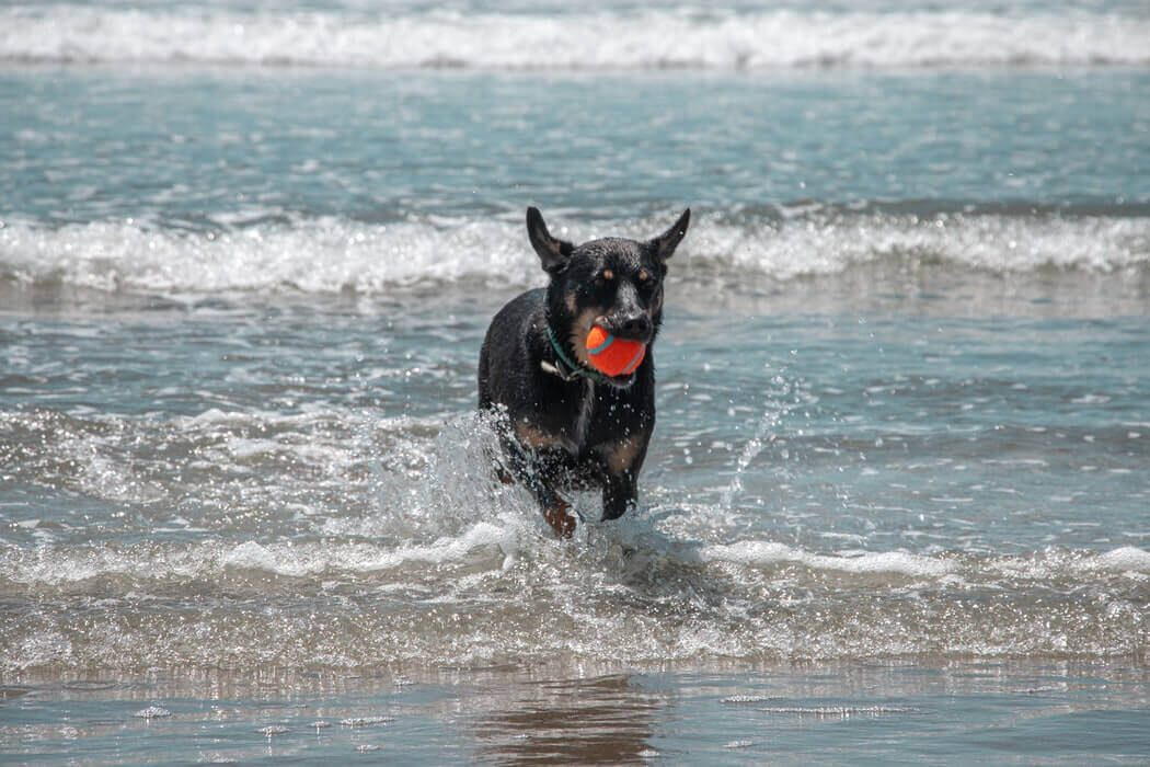 A dog with a ball in the ocean